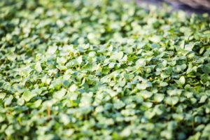 Growing Microgreens at Home 101